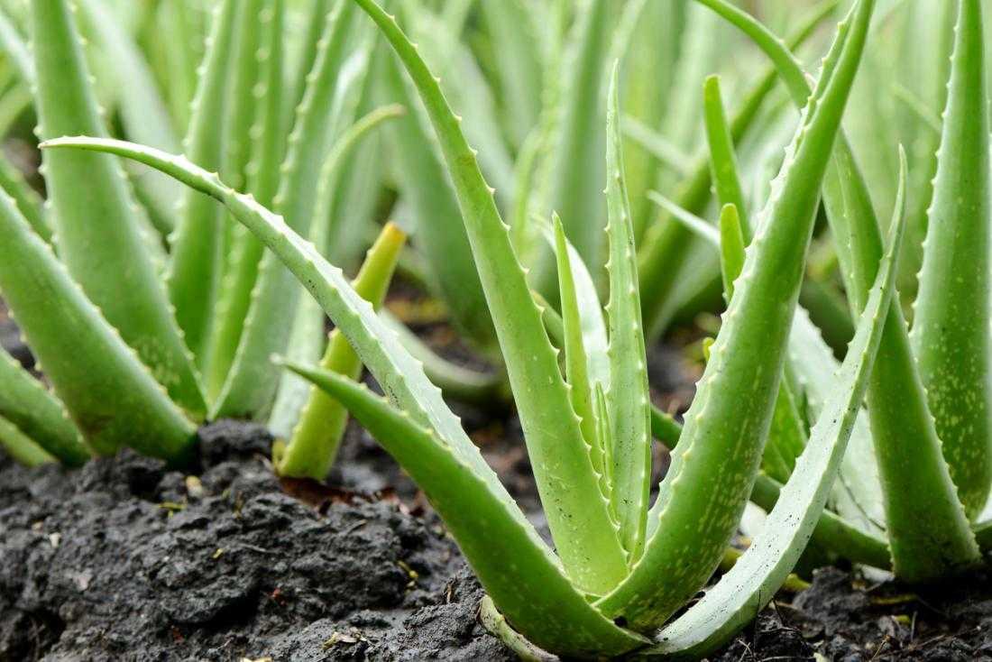 Aloe vera de la Forever Living